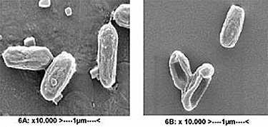 Two examples of untreated and treated Bacillus Subtilis spores