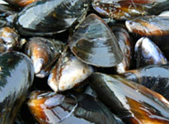photo of blue mussels