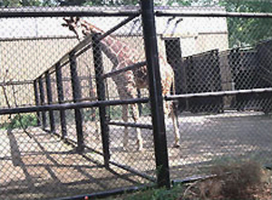 Giraffes behind a fence in an old-style zoo.